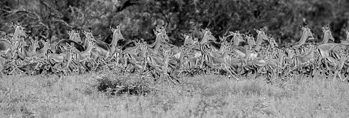 Impalas Running