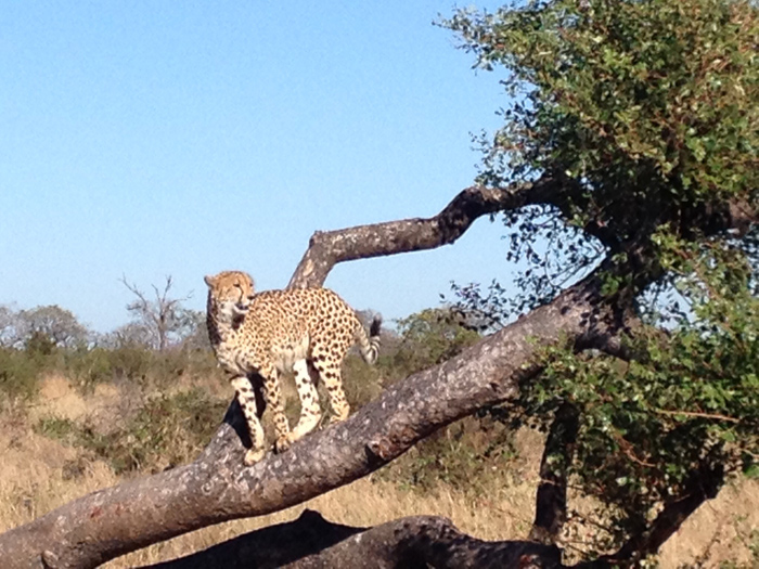 The cheetah posing for us!