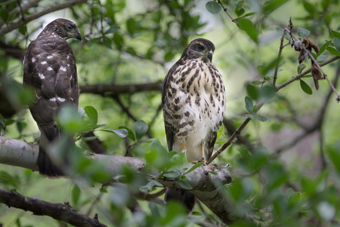 These are two of a brood of three young African Goshawks that have been hanging around Founders and Granite Camps since leaving their nest. Their parents, a territorial, monogamous pair who preside over the Londolozi Camps. In order to facilitate the creation of a brood such as this, the male will present a meal to the female and then take his chance to mate with her as she starts to feed!