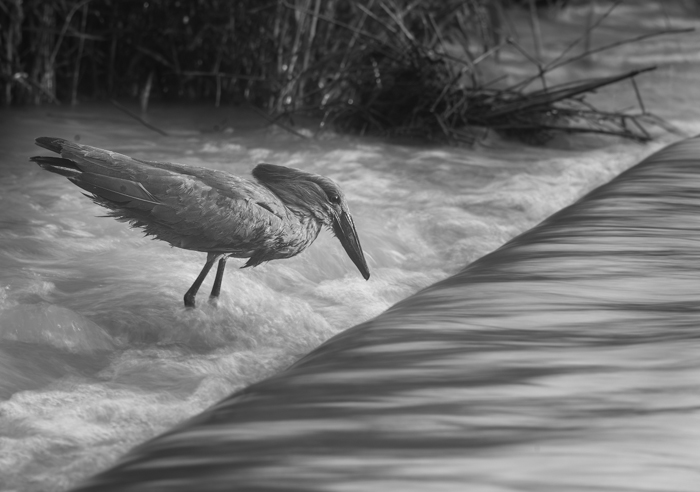 A second picture of the same bird illustrates the effect that can be achieved by combining a slow shutter speed with moving water. Here I used a shutter speed of 1/10th of a second. This requires a steady rest and a subject that remains dead still for the duration of the photo. The resulting effect is a sharp bird but blurred water.