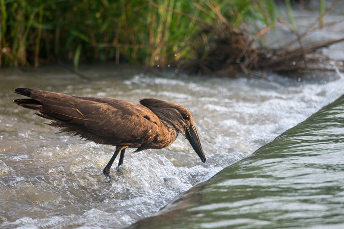 """A Hammerkop waits patiently at the causeway for any sign of a fish or frog that it can snap up. The name Hammerkop is an Afrikaans name that translates to """"hammer head"""" - an obvious reference to the feathers in his crest."""