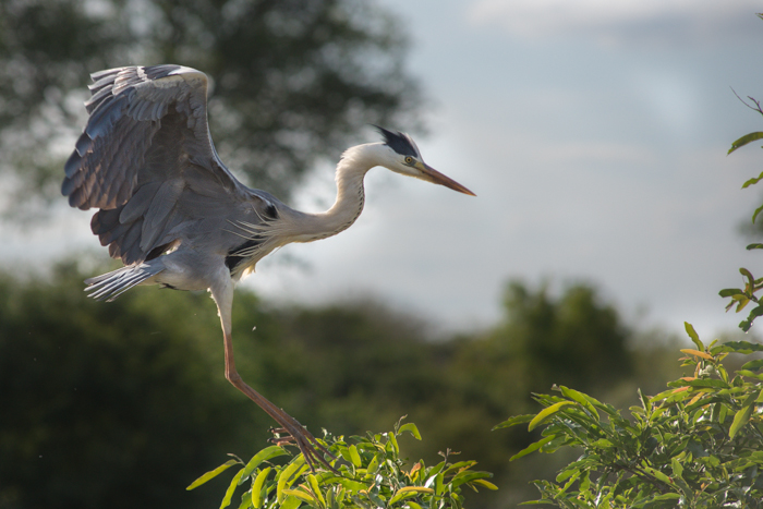 The Grey Heron nesting site has featured a few times on the blog - here one of the adults comes in to land at the nest.