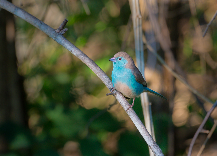 another one of the smaller seed-eaters with striking colours is the Blue Waxbill. They usually give their presence away with their soft but high pitched whistling, and it is only when they are in good light that the true extent of their colours is revealed.