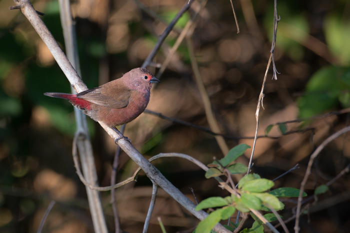 Jameson's Fire-Finch displays to females by dancing around on a perch and waving a feather around in its beak at Londolozi