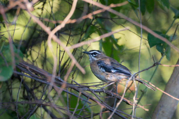 A resident of the thickets, the Bearded Scrub Robin can prove a difficult bird to photograph, although we are fortunate to have quite a few in the staff village - one even nested outside Rich Burman's front door this year, allowing us to watch the progress of the eggs and resulting chicks on a daily basis