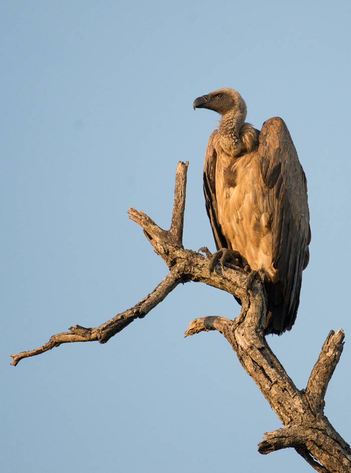 A White Backed Vulture perches on top of a dead knob thorn for his evening roost. Soaring on the thermals at speeds of up to 65km/h and altitudes approaching 3000 feet, they are able to spot and sign of food with their exceptional eyesight.