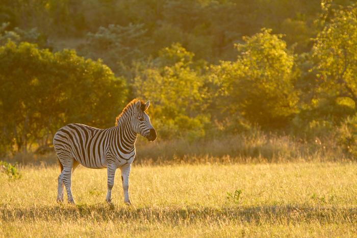 Andrea_Campbell_Golden_Zebra