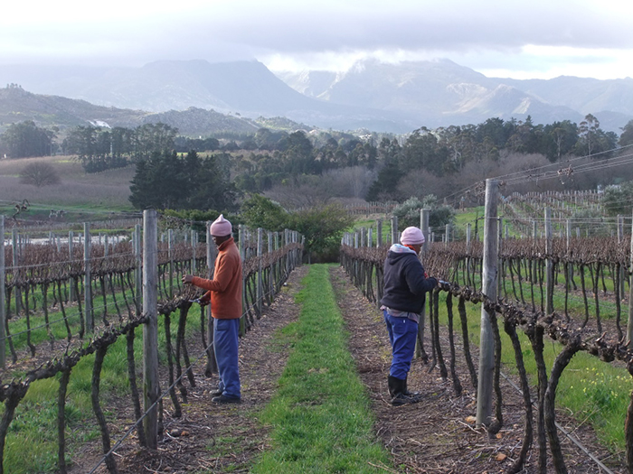 Pruning-the-Pinot-Noir-vines-1024x768