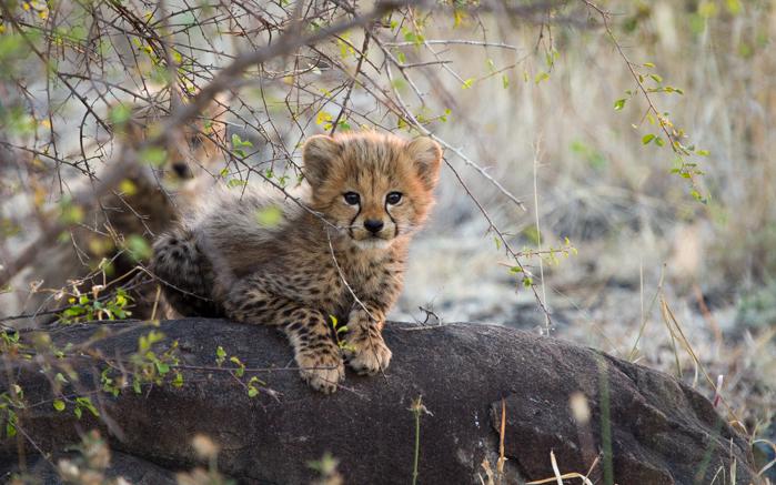 Andrea_Campbell_cheetah_cub_2