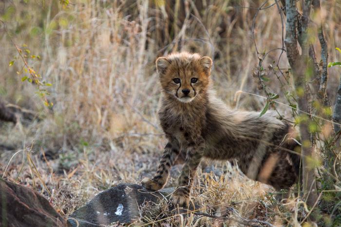 Andrea_Campbell_cheetah_cub_1