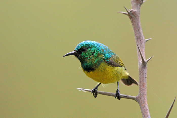 collared sunbird Tony Goldman