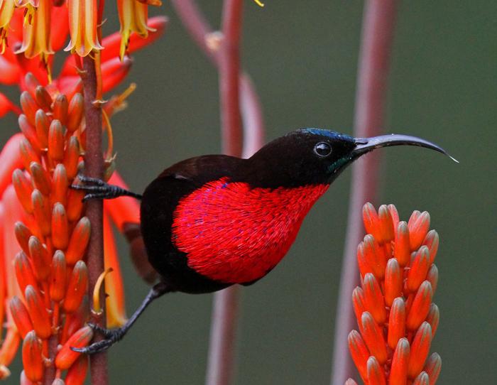 scarlet chested sunbird tony goldman