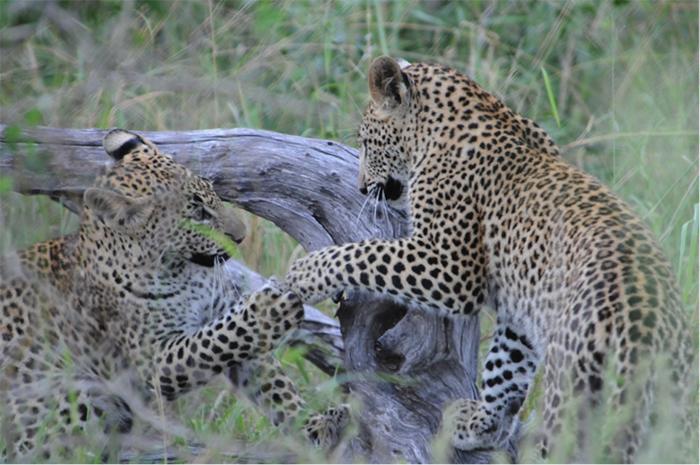 leopard4 copy