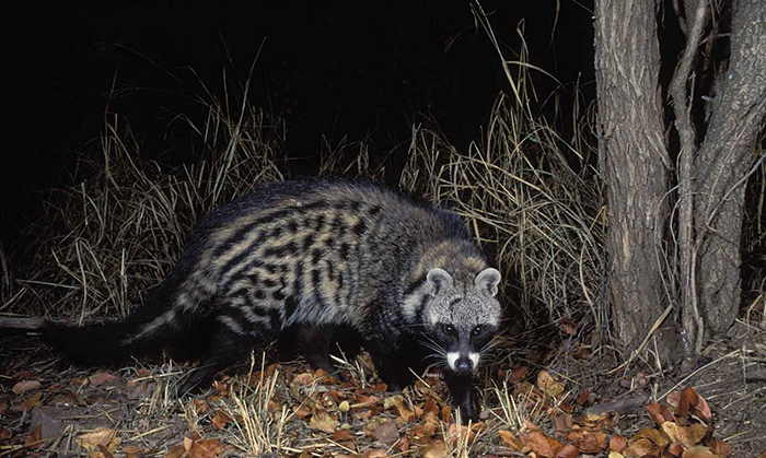 african-civet-wallpapers-2