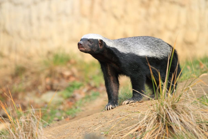 piccyfix_1331448147_honey-badger-900