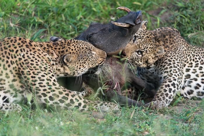 Warthog kill-12