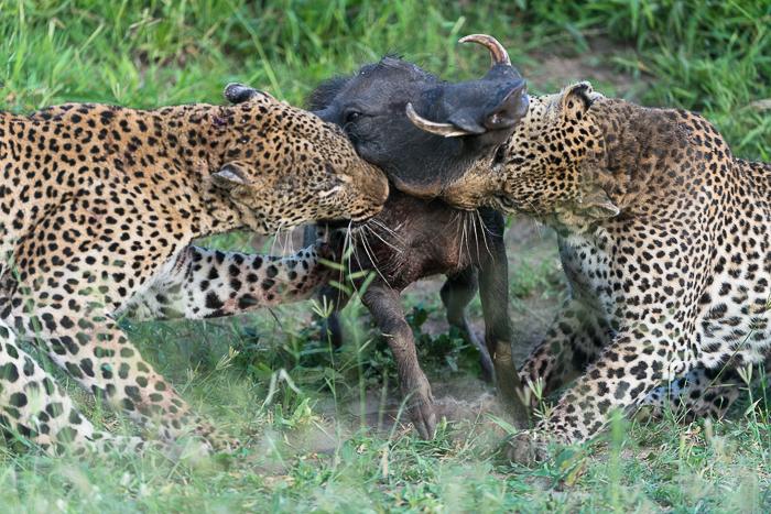 Warthog kill-11