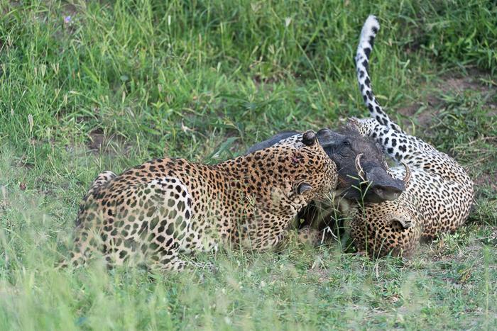 Warthog kill-10