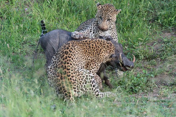 Warthog kill-9