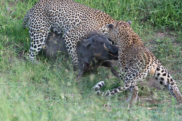 Warthog kill-8