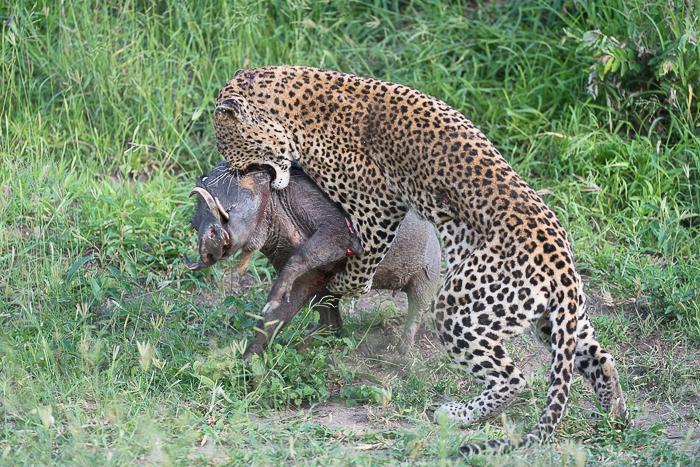 Warthog kill-7