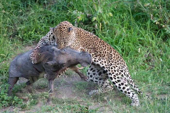 Warthog kill-6