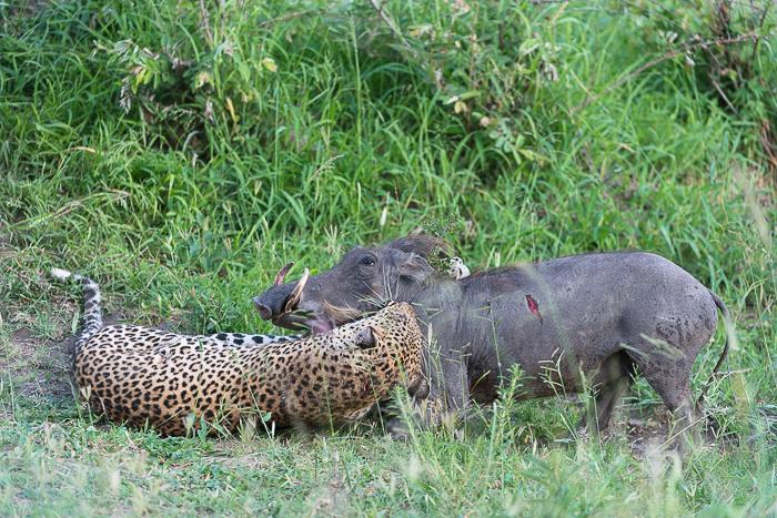 Warthog kill-5