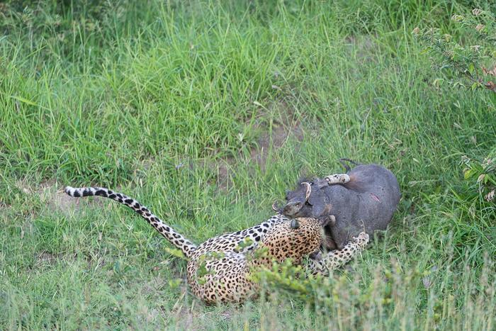 Warthog kill-4