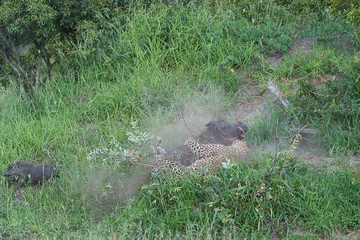 Warthog kill-3