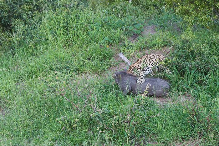 Warthog kill-2