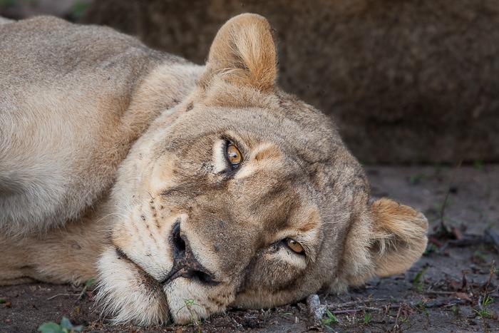 tsalala lioness blog