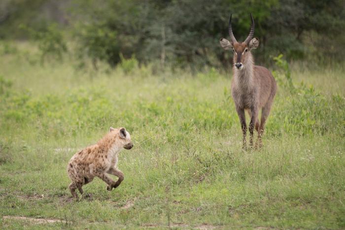 HyenaVsWaterbuck