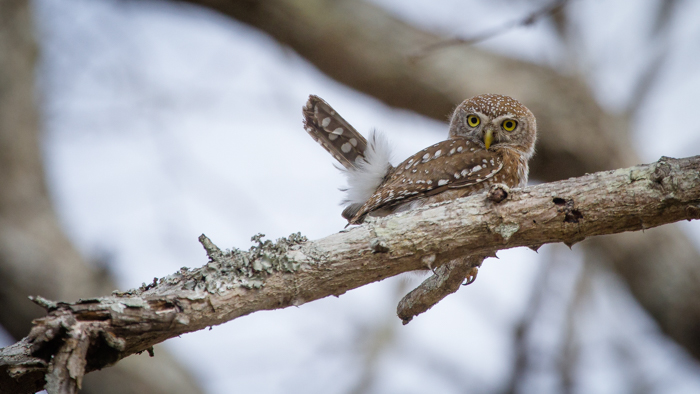 Andrea-Campbell-Pearl-Spotted-Owlet