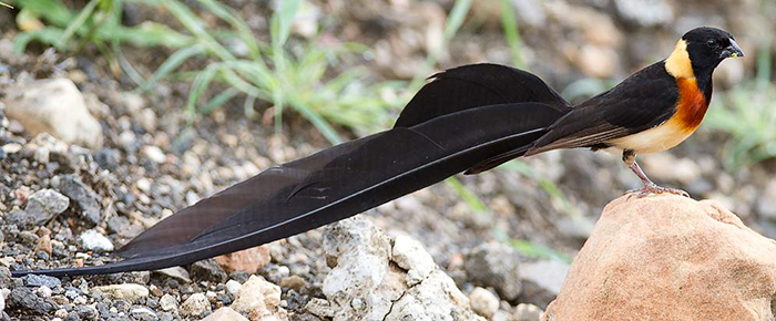 862-Long-tailed-Paradise-Whydah-Pafuri-G34194 (2)