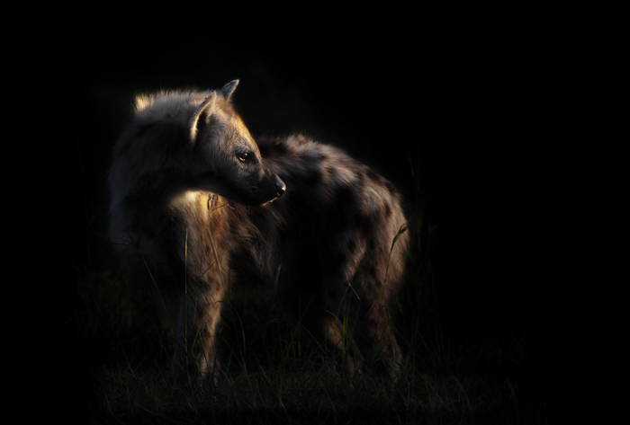 Young hyena Night