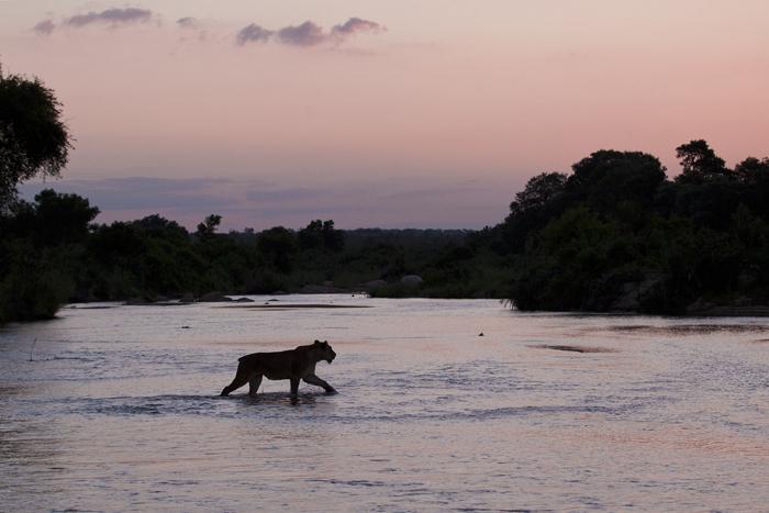 Tailless Tsalala lioness