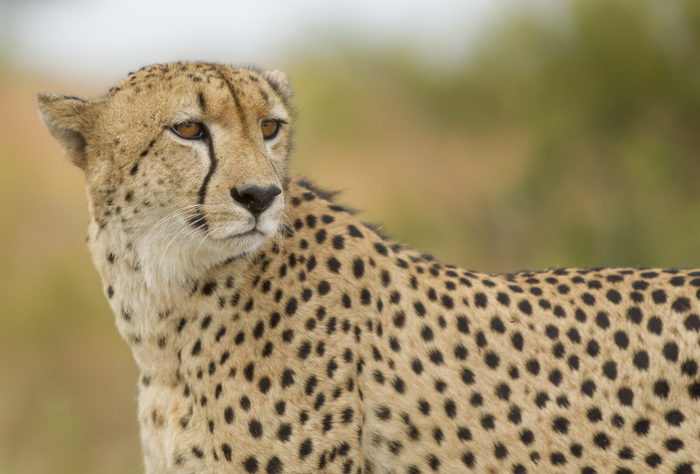 The Difference Between a Leopard and a Cheetah | Londolozi Blog