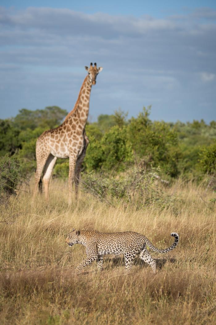 Nanga_Giraffe
