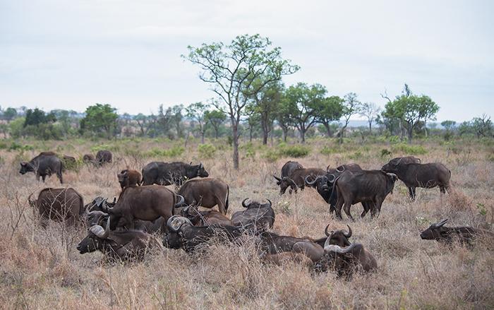 buffalo-herd_sa_ug_20141022__90r6579