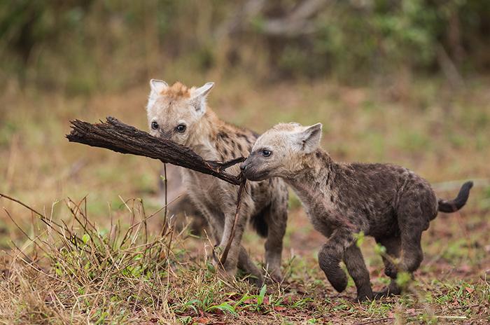 hyena-pups-playing_sa_ug_20141023__90r6957
