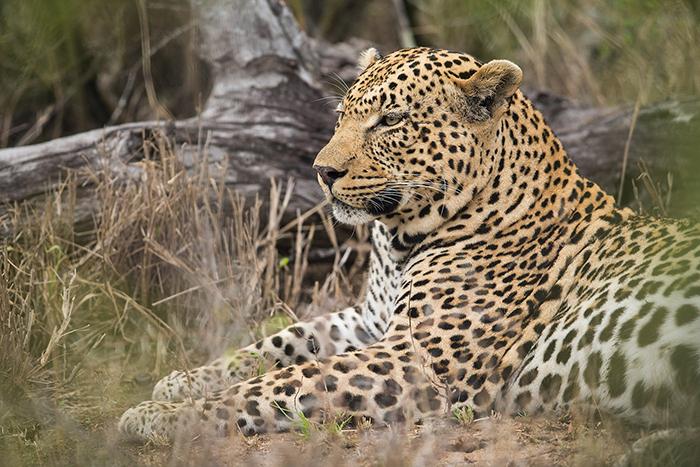 leopard-male_sa_ug_20141022__90r5821