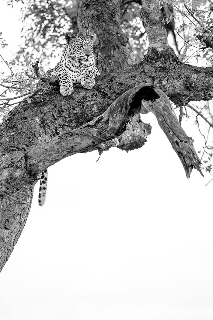 Mashaba Female in a Marula Tree