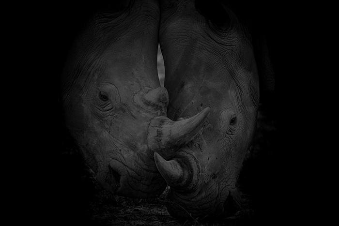 Rhino Bulls