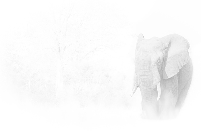 Elephant in High Key