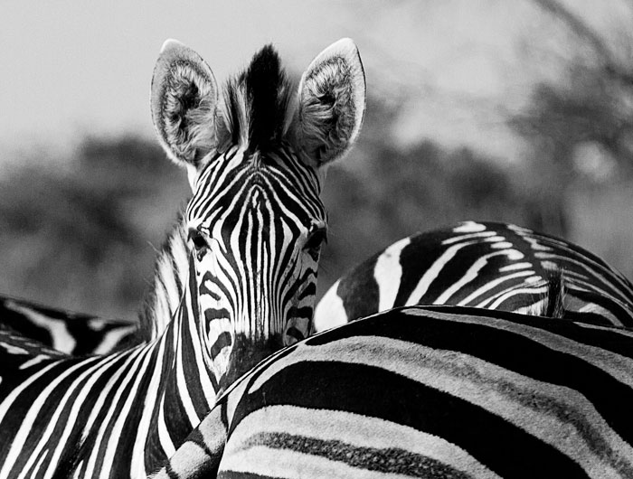 blog.Zebra-face-over-shoulder-in-black-and-white