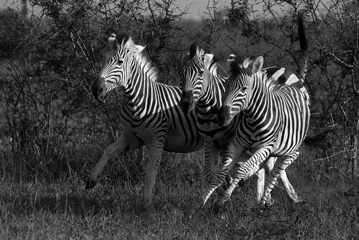 zebras running from predator - photo #16