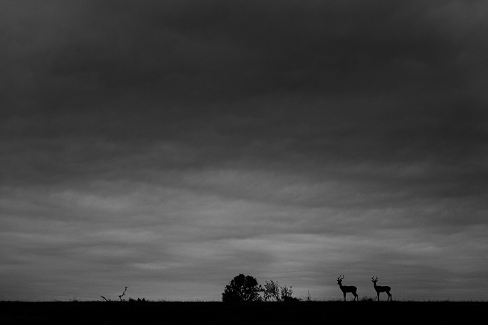 Two young impala rams under some summer cloud. Simon