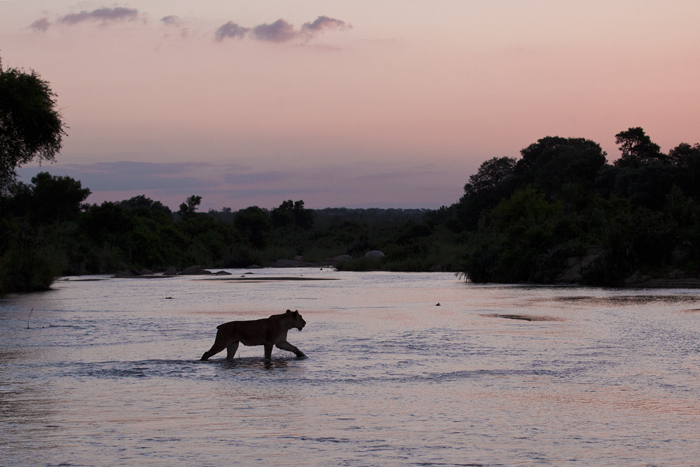 The tailless Tsalala lioness crosses the sand river at dusk to join the rest of her pride waiting on the other side.  Amy