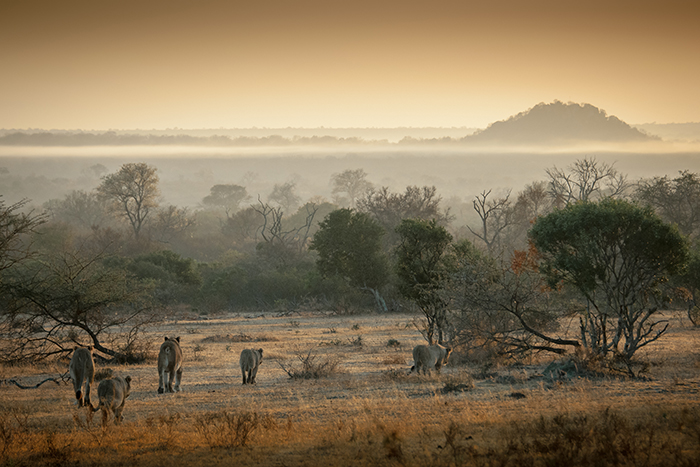 The tailless female and the rest of the Tsalala Pride move into the first light of the day; wilderness at their grasp. Sean Cresswell