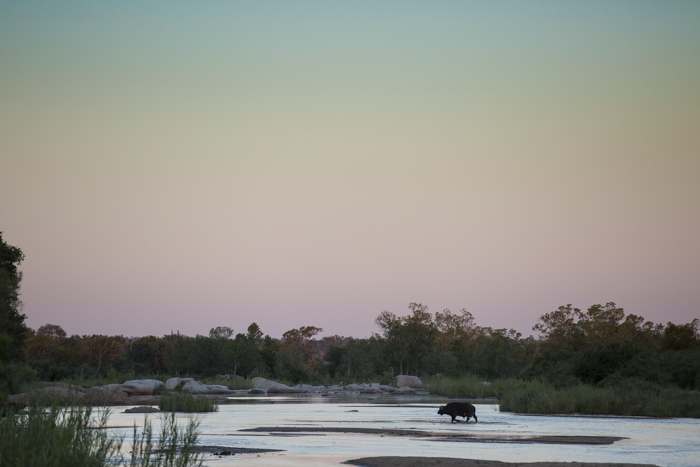A lone buffalo bull crosses the Sand River at sunset. James Tyrrell